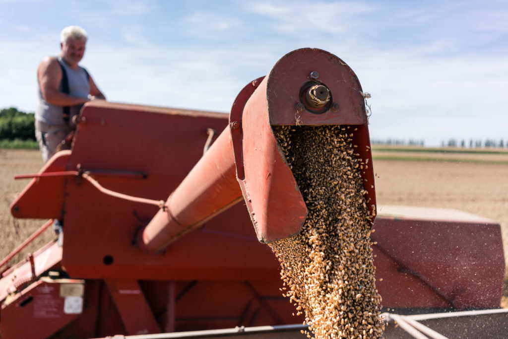 Farmer checking combine harvester and auger spitting grain into trailer